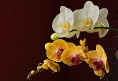 Kolorowa orchidea Obrazy Royalty Free