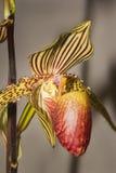Kolorowa paphiopedilum orchidea Obrazy Stock
