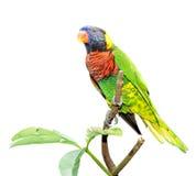Kolorowa papuga Obrazy Royalty Free