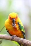 Kolorowa papuga Fotografia Royalty Free