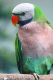 kolorowa papuga Obraz Stock