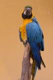 kolorowa papuga ary Obraz Royalty Free