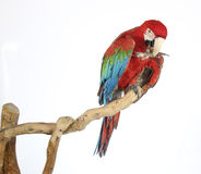 Kolorowa papuga lądował na gałąź, na bielu Zdjęcia Stock