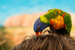 Kolorowa papuga na głowie Zdjęcia Royalty Free