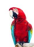 Żywa czerwona papuga Obrazy Royalty Free