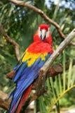 Kolorowa papuga w drzewie Fotografia Royalty Free