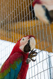 Kolorowa papuga w klatce w zoo obraz stock
