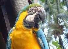 Kolorowa papuga w Kolumbijskim tropikalnym lesie deszczowym fotografia royalty free