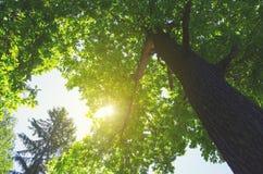 Kolorowa pogodna wiosny scena z zielonym dębowym drzewem zdjęcie royalty free