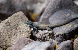 Kolorowa pustynna jaszczurka reseting na niektóre skałach Zdjęcie Stock