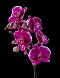 Kolorowa różowa orchidea Zdjęcia Royalty Free