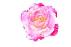 Kolorowa róża Zdjęcia Royalty Free