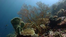 Kolorowa rafa koralowa z ciężkimi koralami, gąbkami i gorgonians, zdjęcie wideo