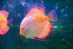 kolorowa ryb Obraz Royalty Free