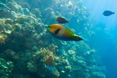 kolorowa ryba Obraz Royalty Free