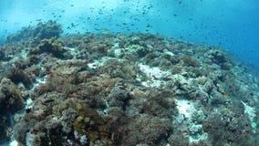 Kolorowa ryba i rafa w Alor, Indonezja zbiory wideo