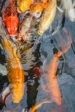 Kolorowa ryba, karp lub fantazja karp, także znać jako galanteryjny karp, czarny karp Zdjęcia Stock
