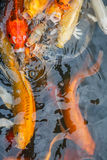 Kolorowa ryba, karp lub fantazja karp, także znać jako galanteryjny karp, czarny karp Fotografia Stock