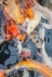 Kolorowa ryba, karp lub fantazja karp, także znać jako galanteryjny karp, czarny karp Fotografia Royalty Free