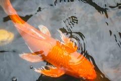 Kolorowa ryba, karp lub fantazja karp, także znać jako galanteryjny karp, czarny karp Zdjęcie Royalty Free