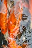 Kolorowa ryba, karp lub fantazja karp, także znać jako galanteryjny karp, czarny karp Zdjęcie Stock