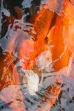Kolorowa ryba, karp lub fantazja karp, także znać jako galanteryjny karp, czarny karp Obraz Stock