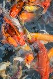 Kolorowa ryba, karp lub fantazja karp, także znać jako galanteryjny karp, czarny karp Obrazy Royalty Free