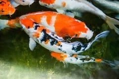 Kolorowa ryba lub fantazja karp, słodkowodna ryba karp, fantazja Fotografia Stock
