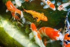 Kolorowa ryba lub fantazja karp, słodkowodna ryba karp, fantazja Zdjęcie Stock