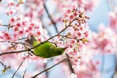Kolorowa samiec Stać na czele Leafbird karmę na dzikim himalajskim czereśniowym kwiacie obraz stock
