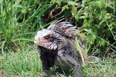 Kolorowa Tropikalna iguana w lesie Zdjęcie Royalty Free
