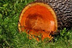 Kolorowa twarde drzewo bela zdjęcie stock