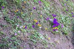 kolorowa wiosna kwiat Pierwiosnki na lasowym wzgórzu Kwiatonośni stubarwni krokusy Pojęcie pierwszy wiosen rośliny fotografia royalty free