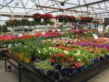 Kolorowa wiosna kwitnie na półkach dla sprzedaży Zdjęcia Royalty Free