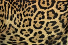 Kolorowa wzorzysta jaguar skóra dla tła fotografia royalty free