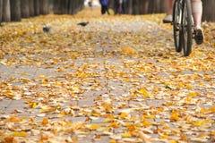 Kolorowa złota aleja w jesień parku Mężczyzna jedzie bicykl daleko od Obrazy Stock