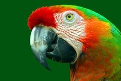 kolorowa zbliżenie papuga obraz royalty free