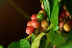 kolorowa ziaren kawy Fotografia Stock