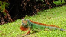 kolorowa zielona iguana Zdjęcia Royalty Free