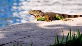 Kolorowa zielona iguana i woda Fotografia Stock