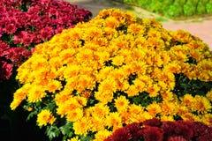 Kolorowe chryzantemy r w ogródzie obrazy royalty free