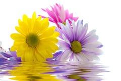 kolorowe daisy obrazy stock