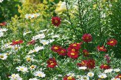 kolorowe daisy Fotografia Stock