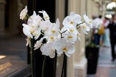Kolorowe duże orchidee Biała i pomarańczowa orchidea fotografia stock