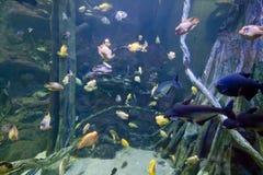 Kolorowe egzotyczne tropikalne ryba podwodne w akwarium obraz stock