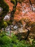 kolorowe japoński klon fotografia royalty free