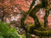 kolorowe japoński klon obrazy stock