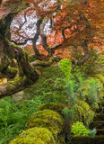 kolorowe japoński klon obrazy royalty free