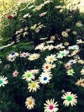 kolorowe kwiaty Obrazy Royalty Free