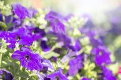 Kolorowe kwitnące petunie fotografia stock